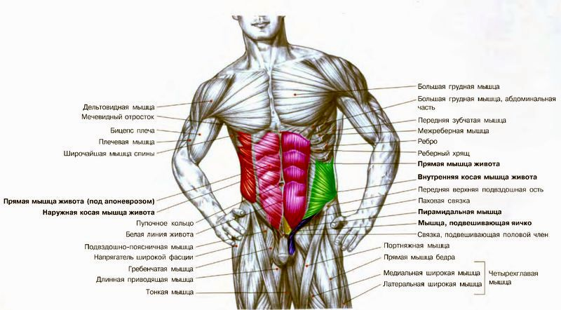 Схема мышц тела человека